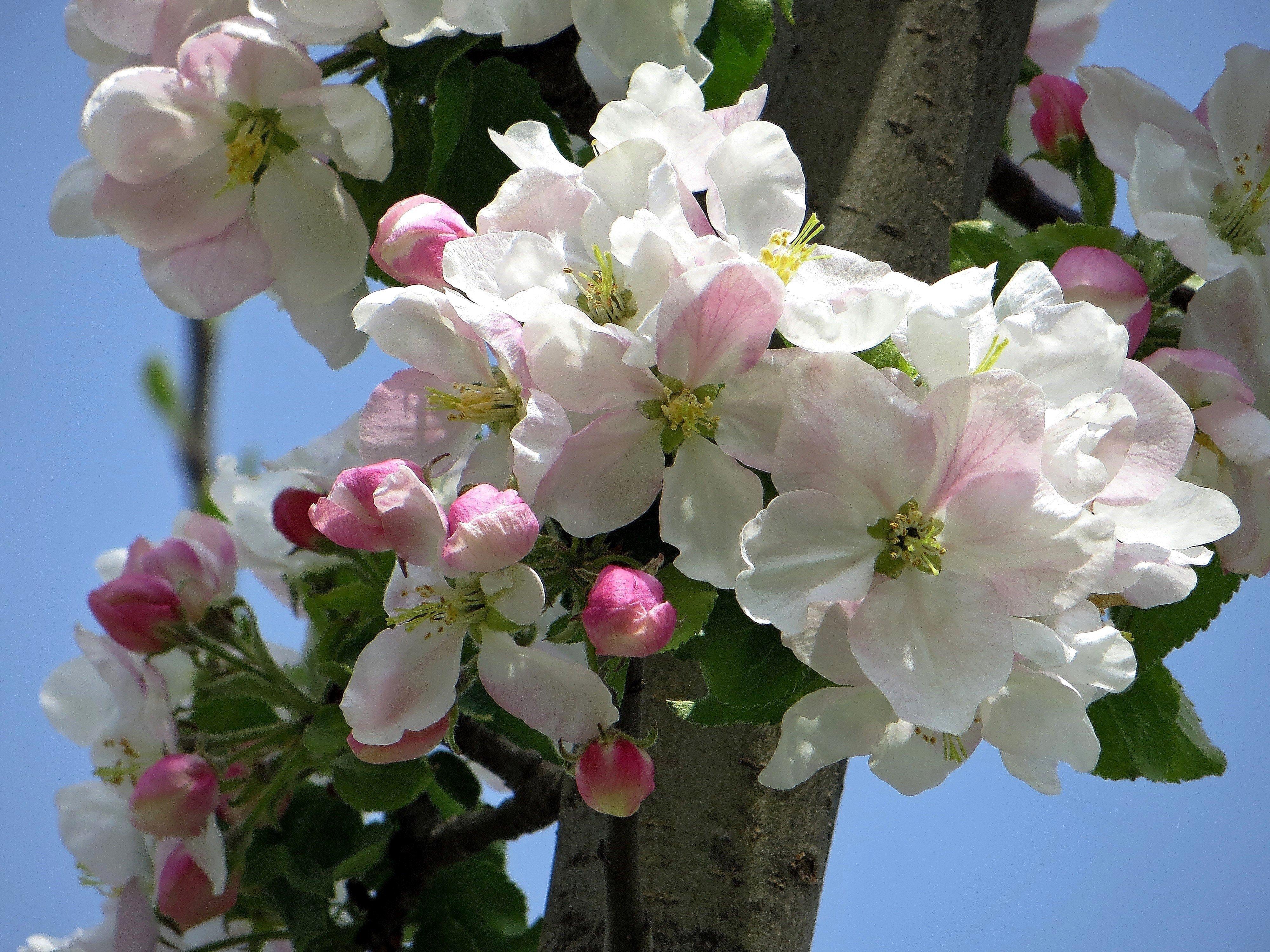 как цветет яблоня фото в хорошем качестве станция савелово