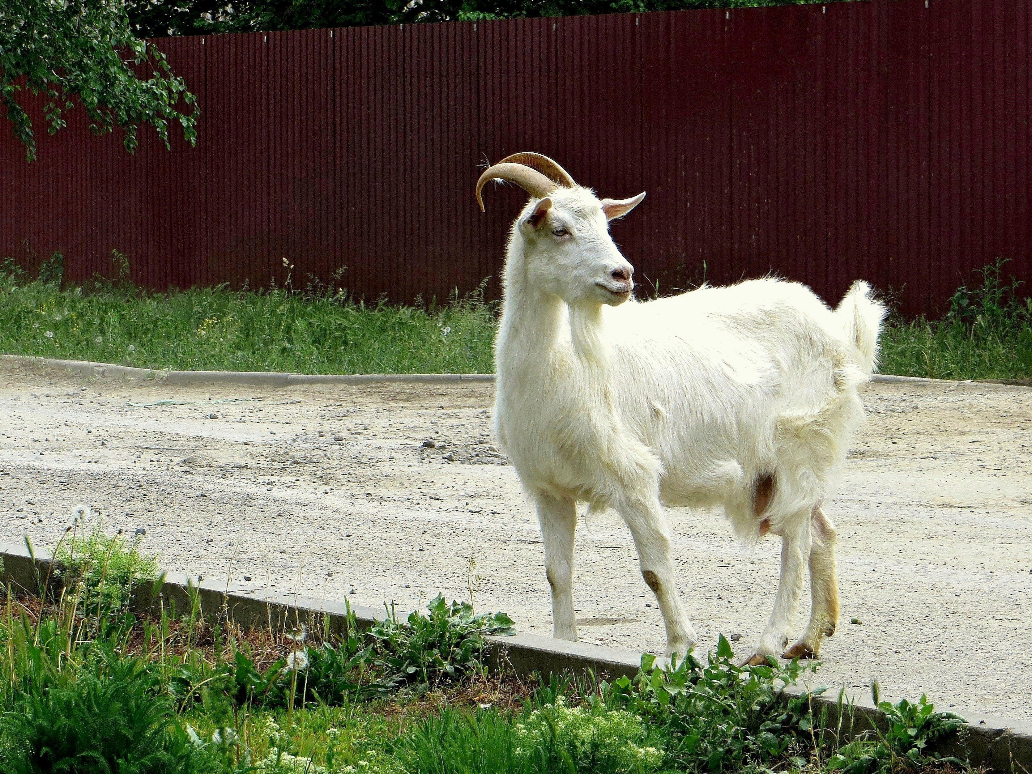 исполнитель картинки козы в полный рост часто называют уссурийским