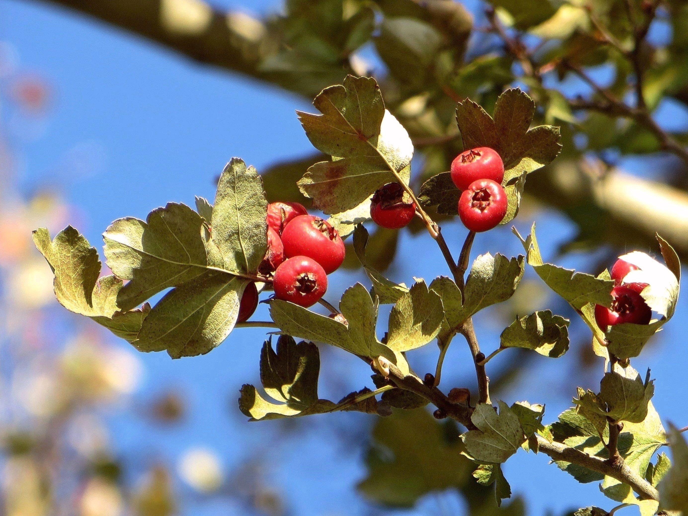 обычно подделках боярышник декоративный фото ягоды покажет