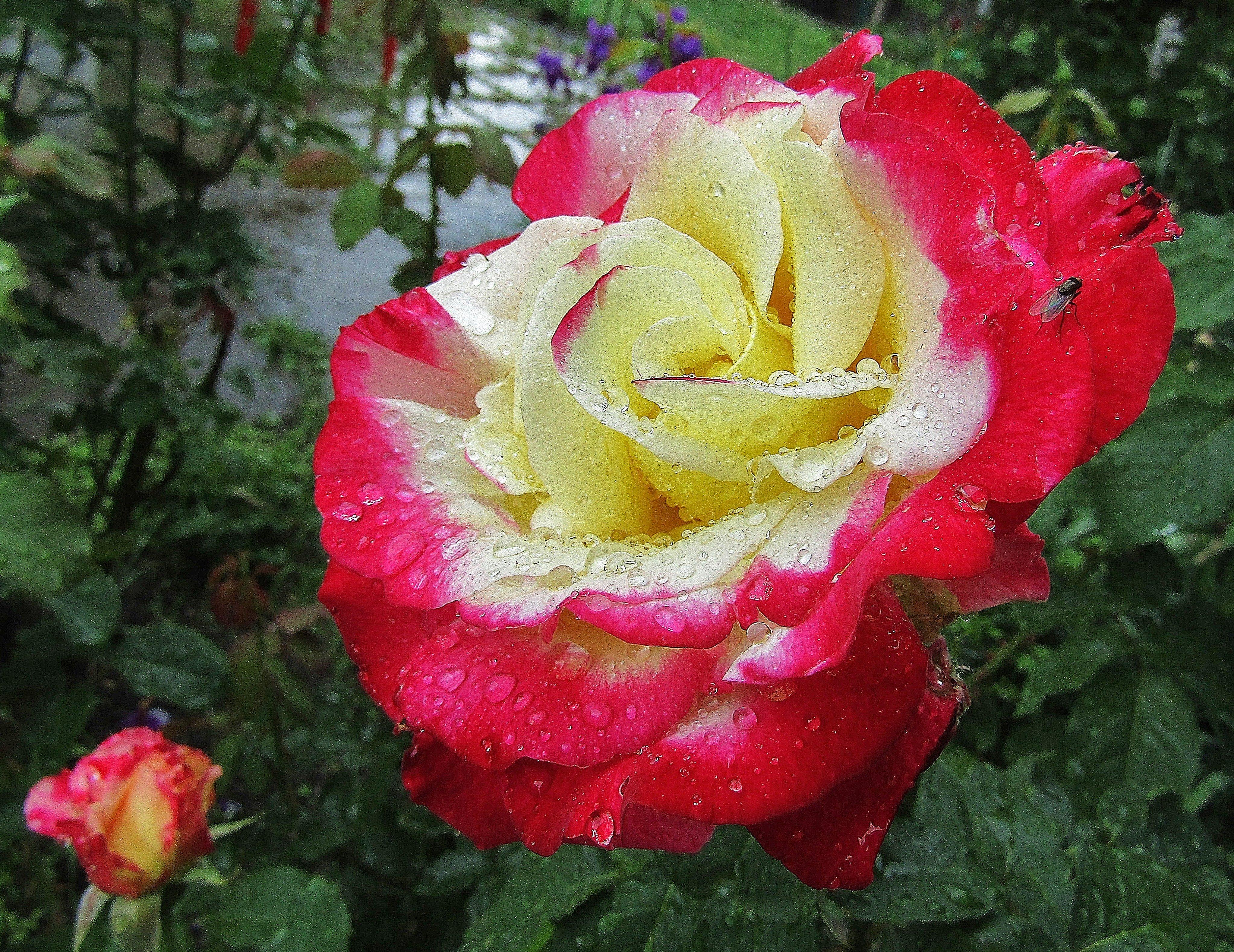 передает роза дабл дилайт фото и описание опыта работы