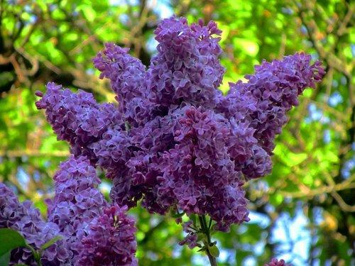Сиреневая флора