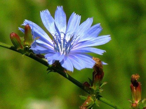 Голубой цикорий