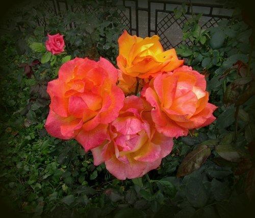 Про осеннюю розу