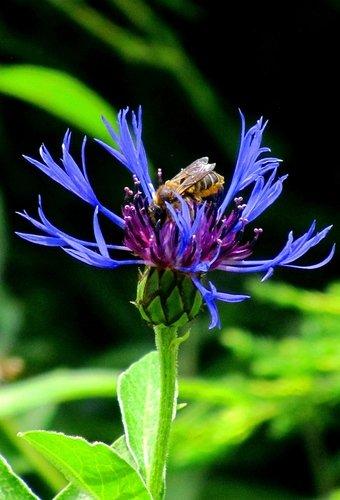Лакомство пчелы