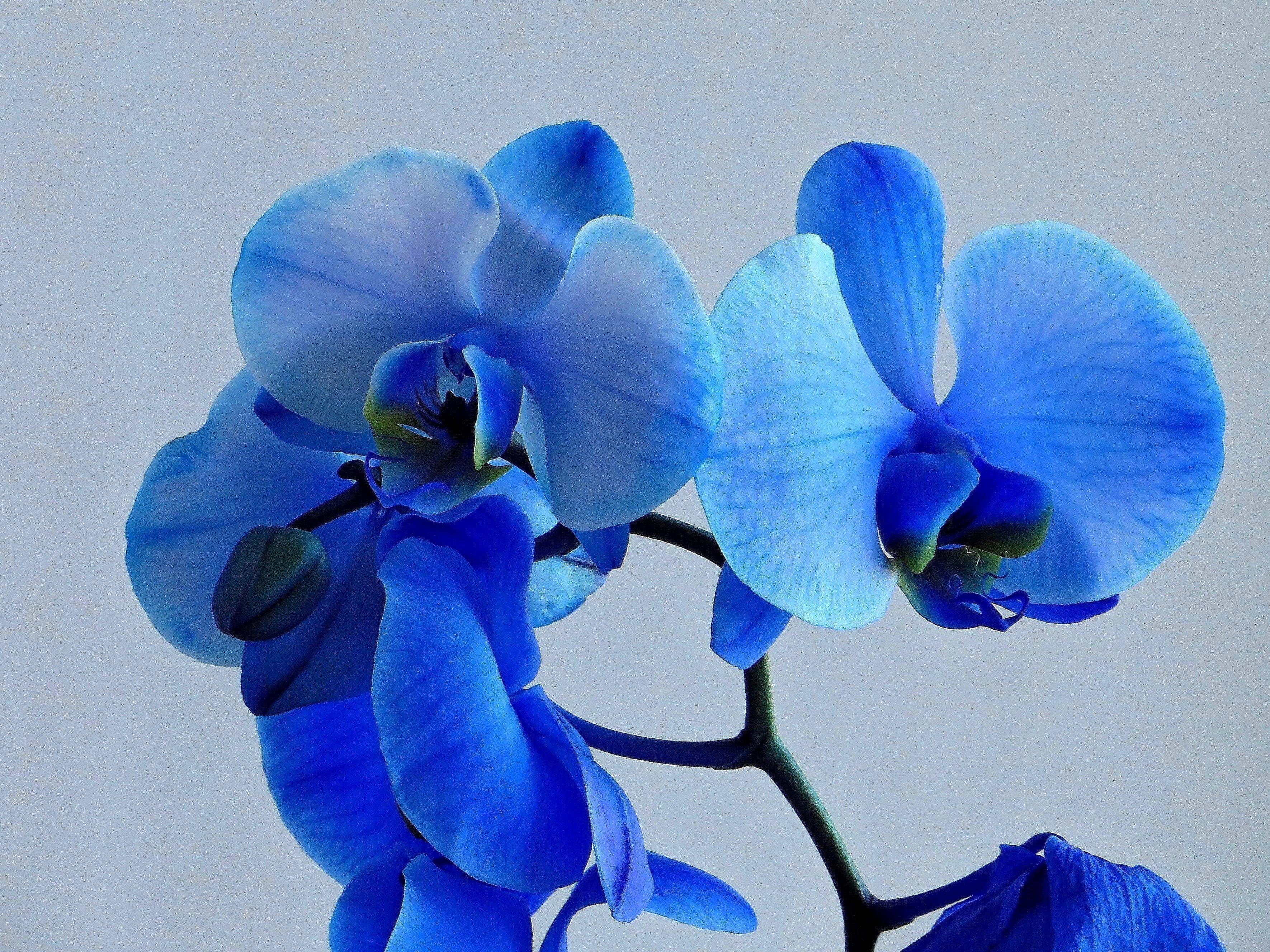 потому, что голубая орхидея фото цветок варианты автомобилей как