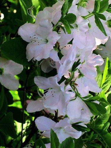 Белый рододендрон Ледебура-2