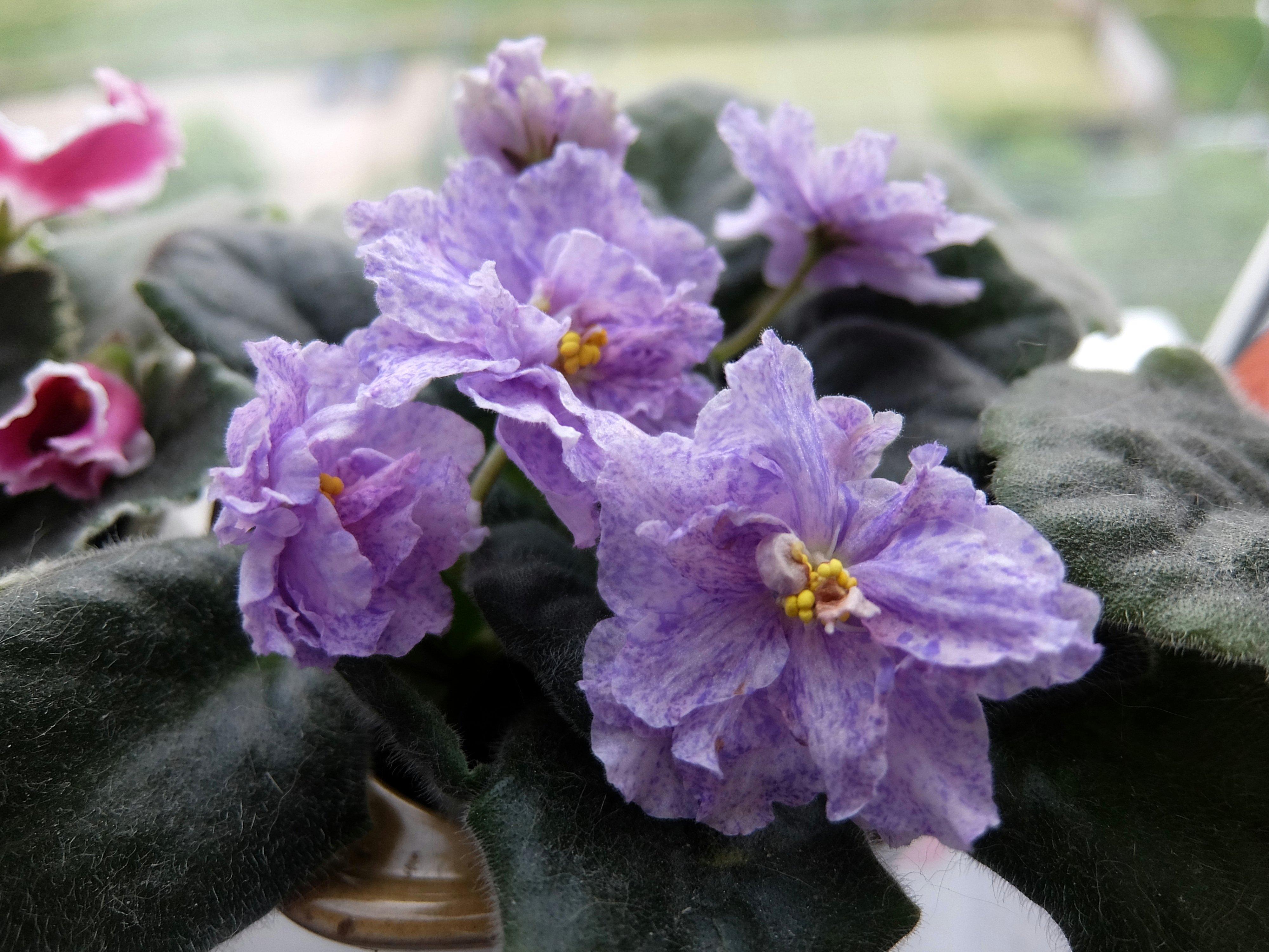 фиалка тирский пурпур фото цей рік дійсно