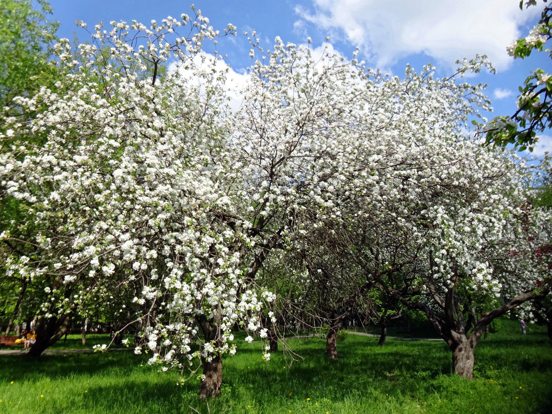 результатам картинки яблоневого сада цветущего дома, дачи посуточно