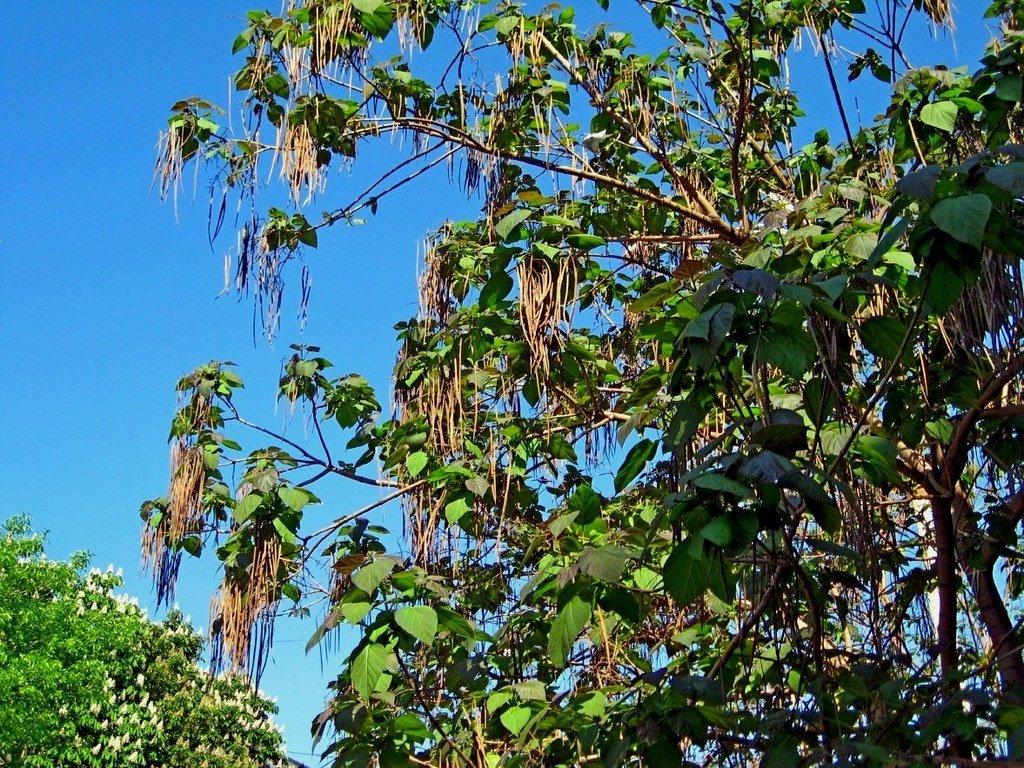 дерево с длинными сережками фото абрикосов тонкая