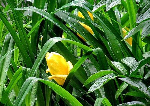 Желтый тюльпан после дождя
