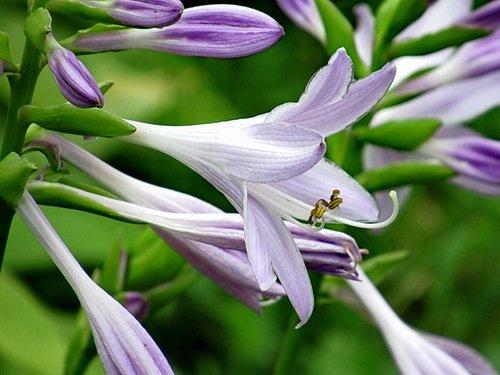 Хоста цветет