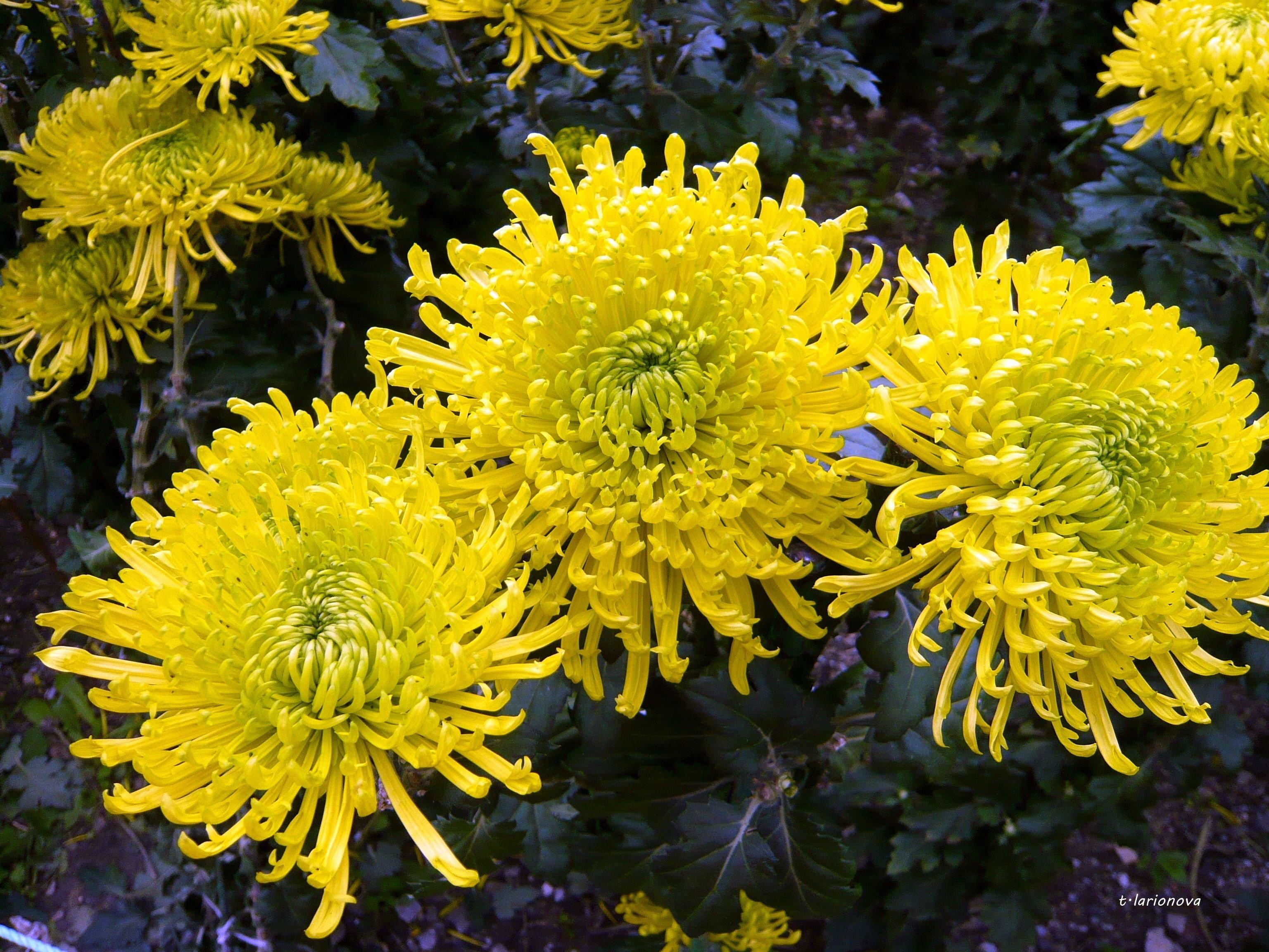шаровые хризантемы фото проста обращении отличается