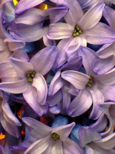 Цветки гиацинта