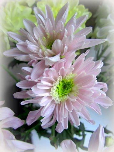 Бледно-розовые хризантемы