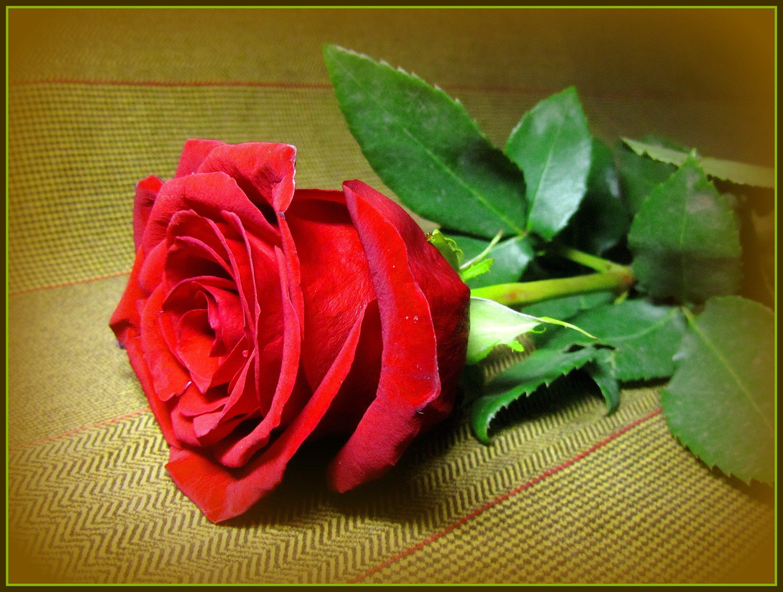 Открытки, открытки роза белая роза алая