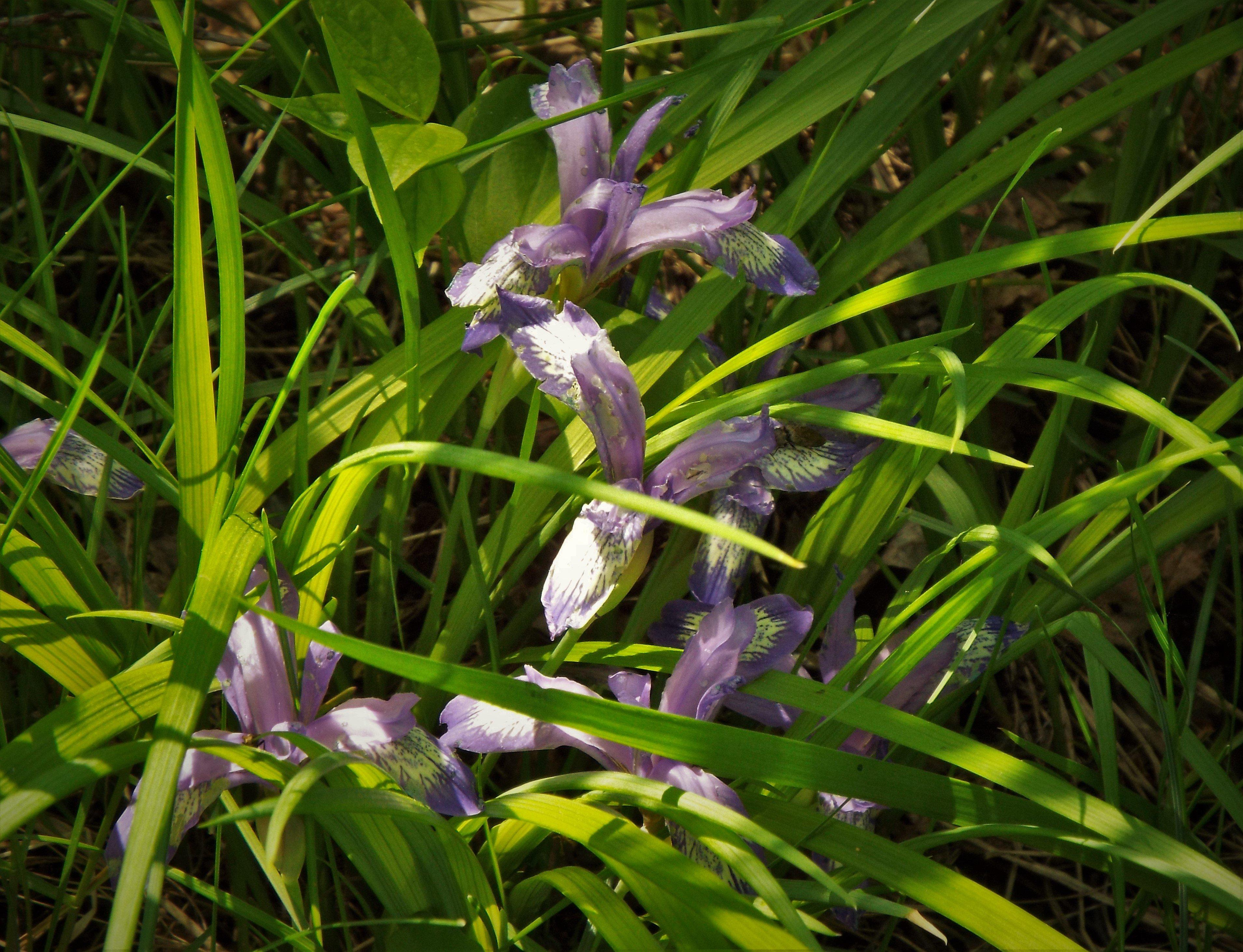 трава кукушкины слезы фото характеризуется поражением
