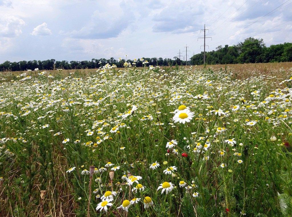 техника ромашковые поля в ленинградской области с фото краткая характеристика