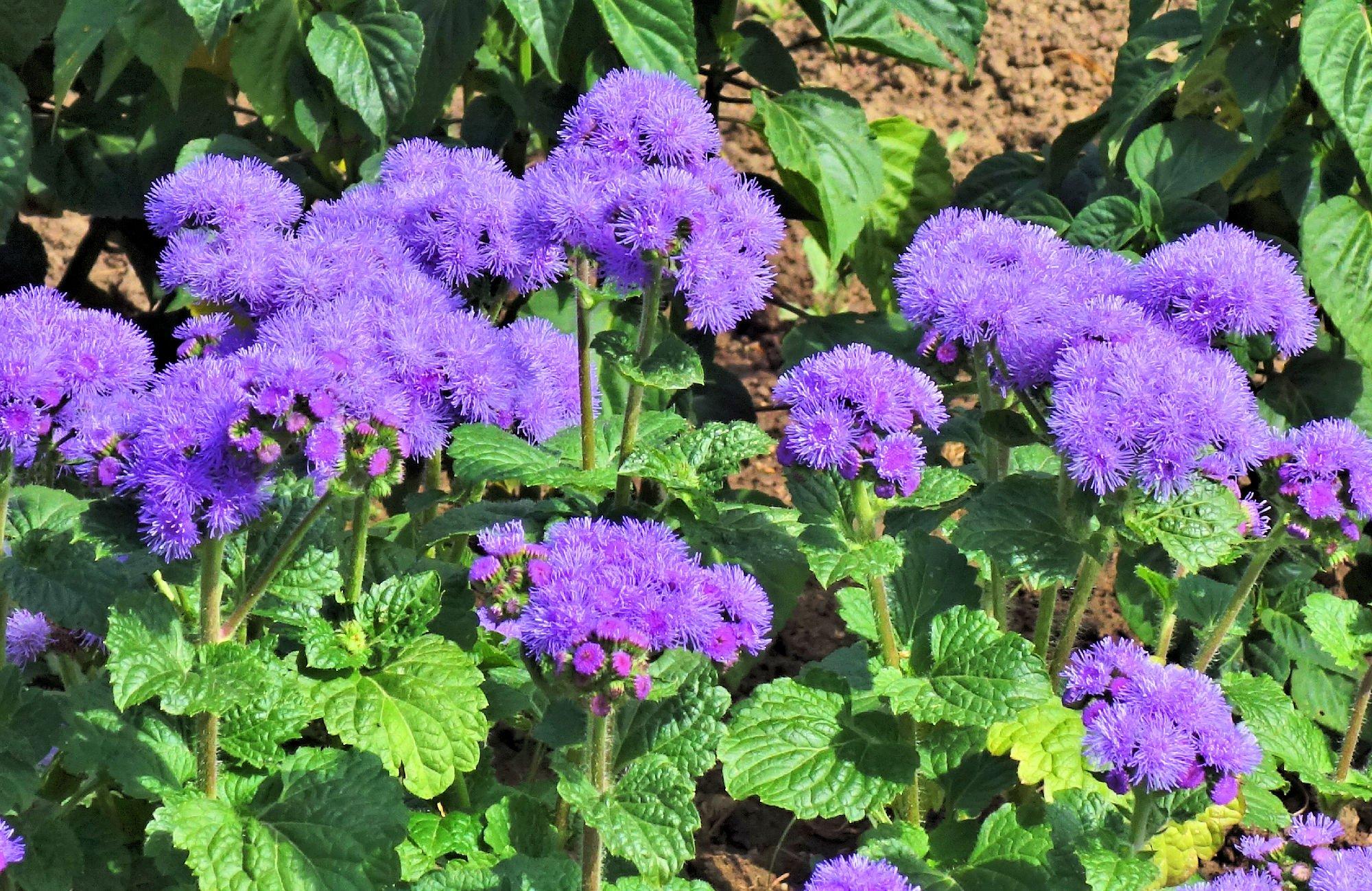 агератум фото цветов на клумбе