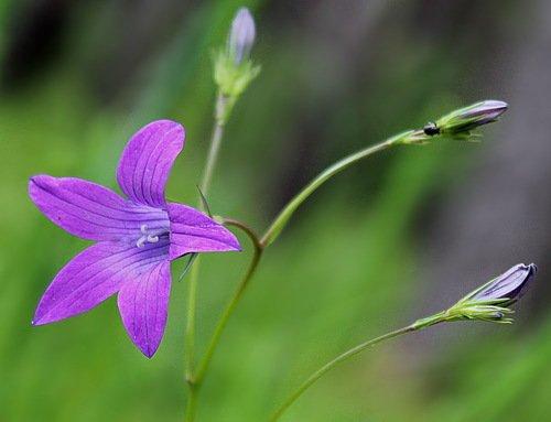 звонкий цветок лета