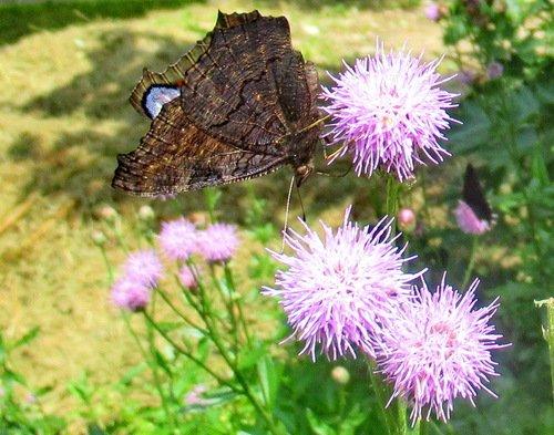 Бабочки и вкусные сиреневые  цветы