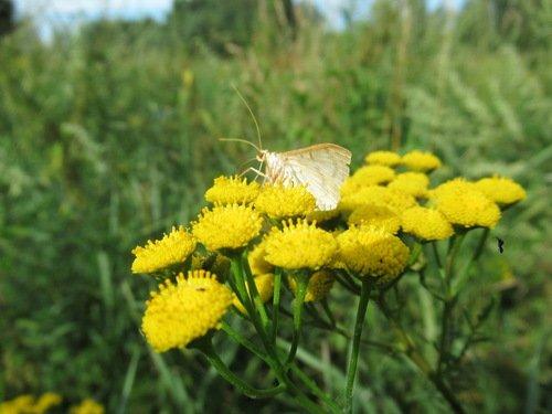 Пижма с бабочкой и многими другими насекомыми