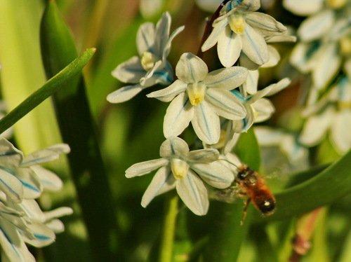 Пчела на подлете к пушкинии