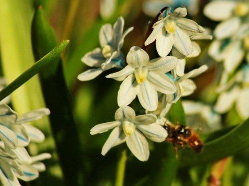 Две пчелы на подлете к пушкинии