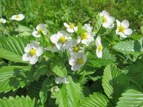 Пышное цветение земляники