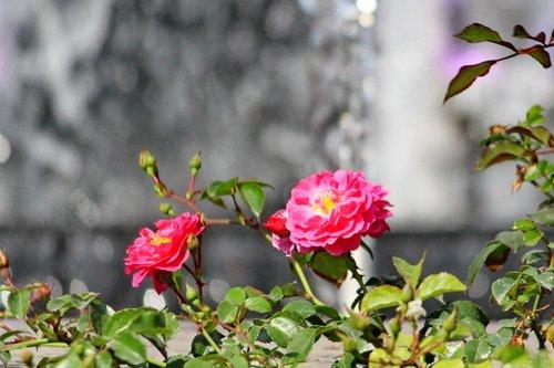 Розы на фоне фонтана