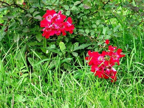 Осенние плетистые розы