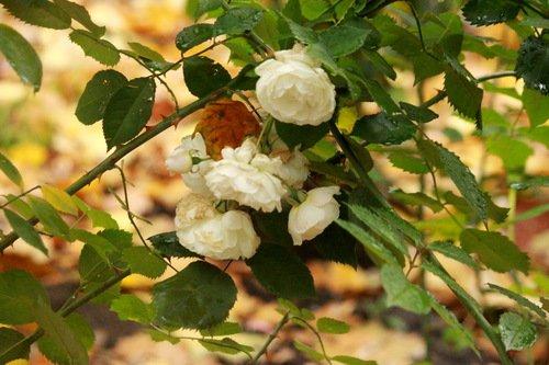Скромные белые осенние