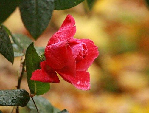 Роза после осеннего дождя