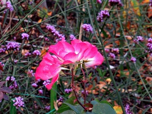 """Вербена бонарская """"Лиловый дождь"""" и плетистые розы"""