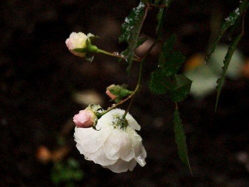 Снег и розы