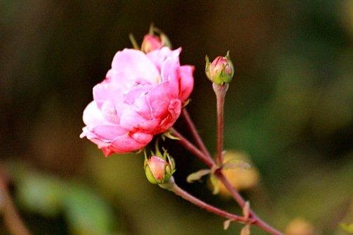 Ноябрьские розы не сдаются!