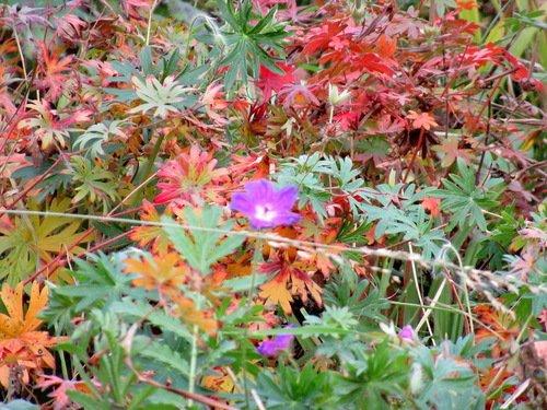 Цветы ноября. Герань луговая.