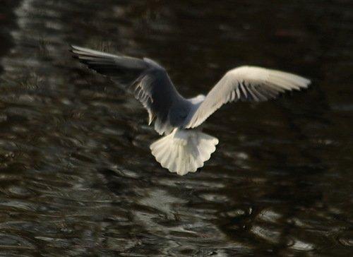 Одно крыло белее снега, Другое чёрное, как ночь...