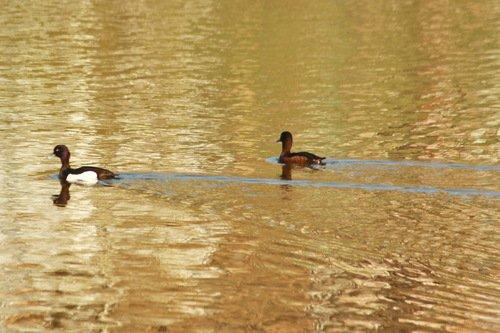 Чернети на золотой воде
