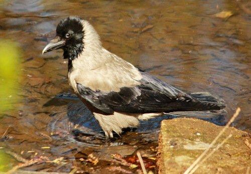 Мы, серые вороны - не замарашки, мы тоже любим воду!
