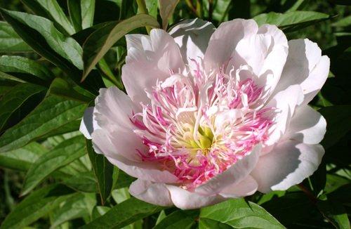 цветок июня