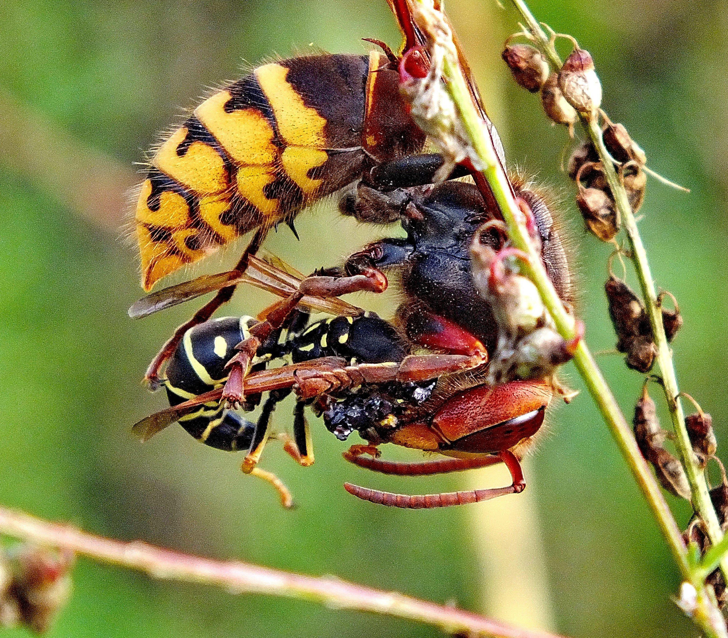 Картинка насекомого шершень