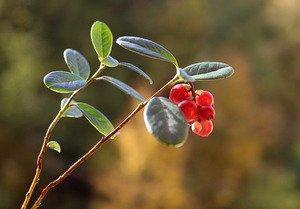 ягодки брусники