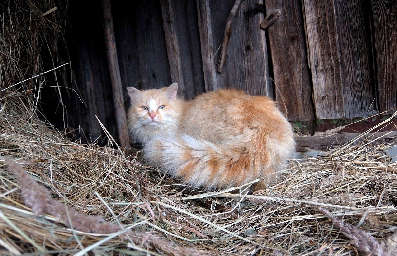 коты фото на сеновале обоев
