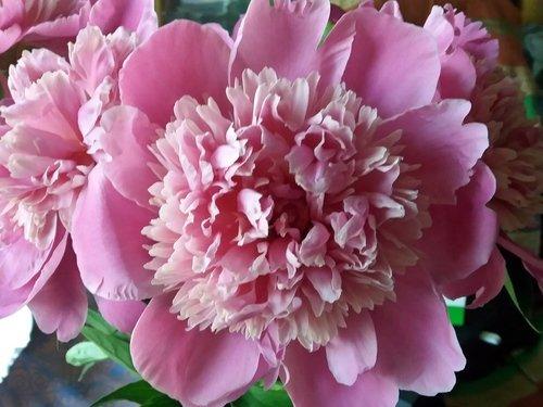 Розовые лепестки пиона