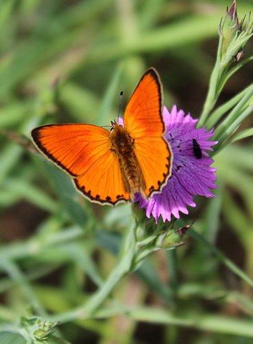 оранжевый мотылек