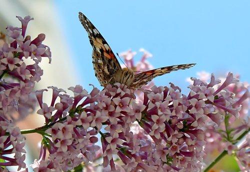 бабочка на ветке  сирени