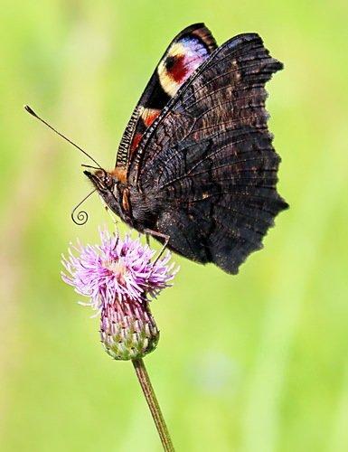 этюд с бабочкой