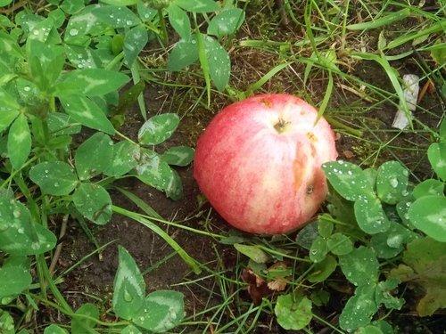 Август роняет яблоки спелые