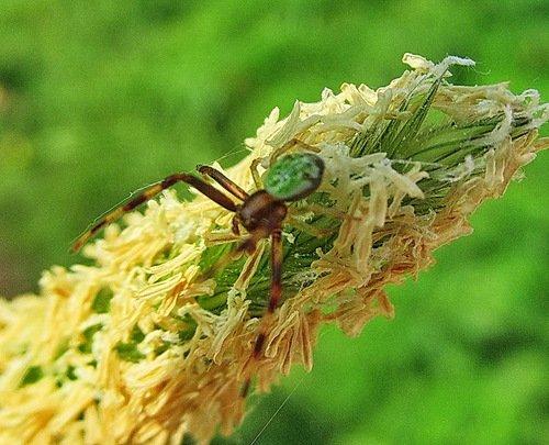 Изумрудно-янтарный паук