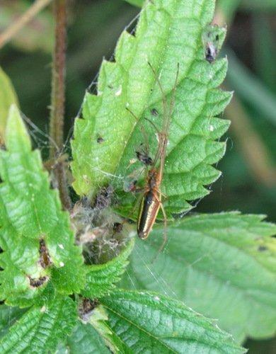 Паук-кругопряд; длинный вязальщикTetragnatha extensa